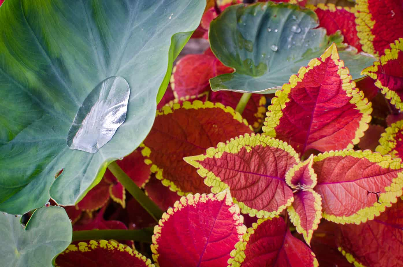 Coleus Hybrid against Colocasia esculenta