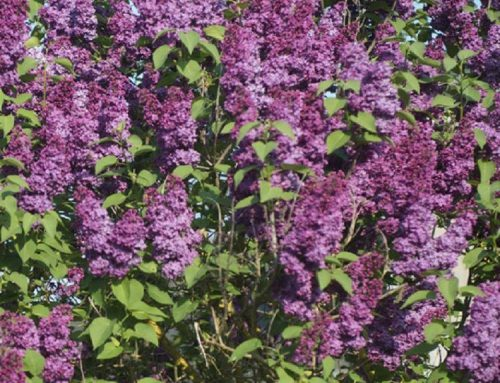 SPECIAL DEAL – Syringa vulgaris Charles Joly – Fragrant Lilac – Special Deals