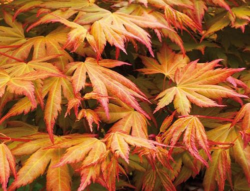 Acer palmatum – Japanese Maple. Learn, Buy & Grow these gorgeous trees