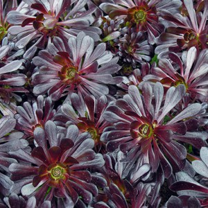 Buy Aeonium arboreum Zwartkop or Black Tree Aeonium for sale in the UK