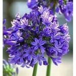 Agapanthus africanus – The African lily | Buy Agapanthus in the UK