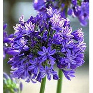 Agapanthus africanus African lily