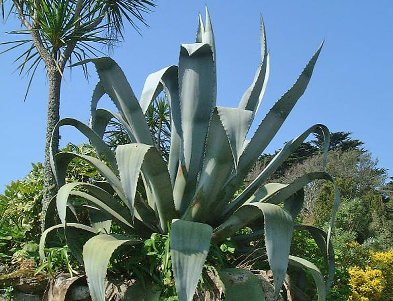 Buy Agave americana online - Century Plant for sale