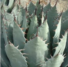 Buy Agavehavardiana Chisos Agave online in the UK