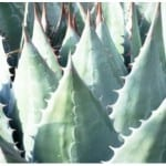 Agave Montana or Mountain Agave | Buy Agave Online