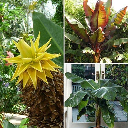 Architectural Banana Plant Collection