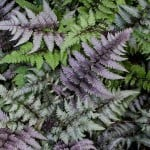 Athyrium niponicum var. pictum - Japanese painted fern for sale