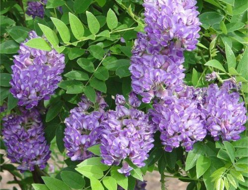 Extra Large Wisteria Amethyst Falls – Trained on a Trellis Frame – Garden Plants
