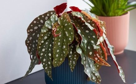 Begonia maculata and pot cover