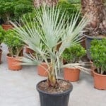 Brahea armata – Blue Hesper Palm Tree, Mexican Blue Palm Tree