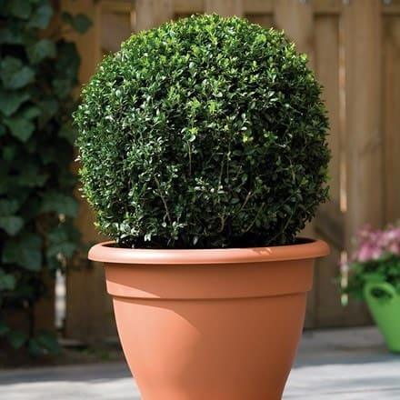 Buxus and patio planter combination