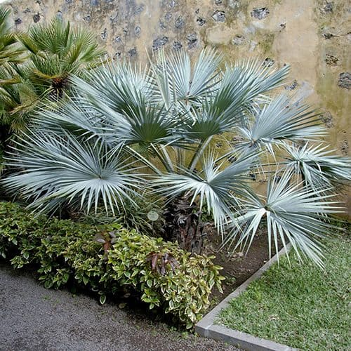 Palms & Palm Trees for Patio and Garden