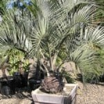 Butia capitata – Buy Jelly Palm Trees Online