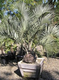 Buy Butia capitata Jelly Palm online