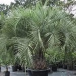 Butia eriospatha - Woolly Jelly Palm for Sale in the UK & Online