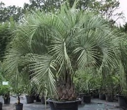 Buy Butia eriospatha Woolly Jelly Palm online