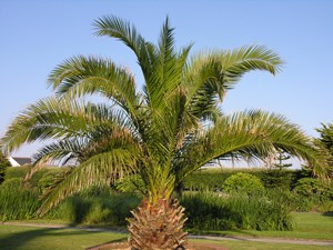 Buy Cheap Phoenix canariensis online