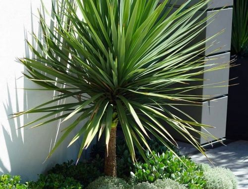 Cordyline australis – Cabbage Tree or Torbay Palm