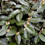 Elaeagnus x ebbingei - Elaeagnus for sale in the UK