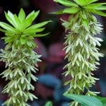 Eucomis bicolor, Pineapple lily – Hardy Lilies for sale