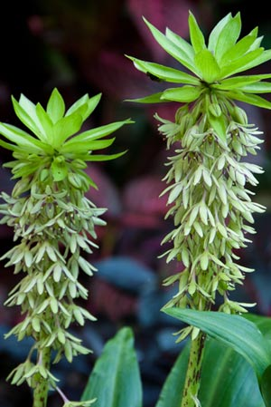 Buy Eucomis bicolor Pineapple lily