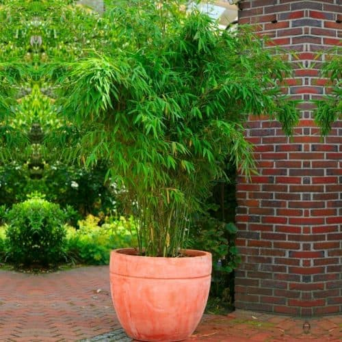 Buy Fargesia murielae 'Rufa' - Umbrella Bamboo online in the UK today