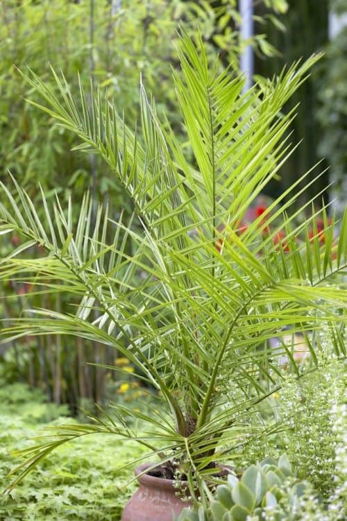 Phoenix roebelenii or Pygmy Date palm