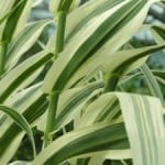 Arundo donax Variegata - Variegated Spanish Reed for sale