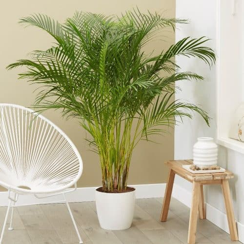 Buy the Areca palm - Bamboo palm - Dypsis lutescens