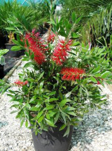 Callistemon citrinus 'Splendens' – Red Bottlebrush for sale UK