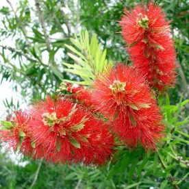 Callistemon rigidus Stiff Bottlebrush Callistemon for sale online in the UK