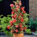 Callistemon viminalis 'Captain Cook' Bottlebrush - Buy Online