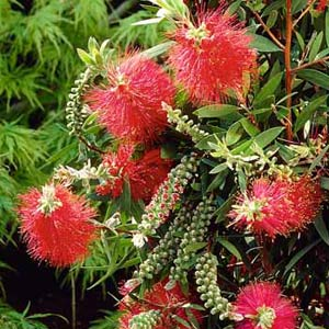 Buy Callistemon viminalis Captain Cook Bottlebrush online