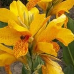 Canna Golden Lucifer - Golden Canna Lilly buy online in the UK