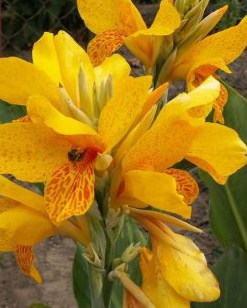 Canna 'Golden Lucifer' Canna Lilly Buy Online