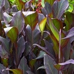 Canna indica 'Purpurea' Indian Shot - Buy Canna Plants Online