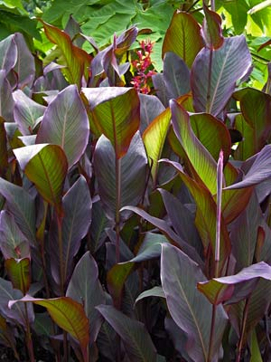 Buy Canna indica 'Purpurea' online - Indian Shot