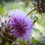 Cardoon Thistle Flower Head