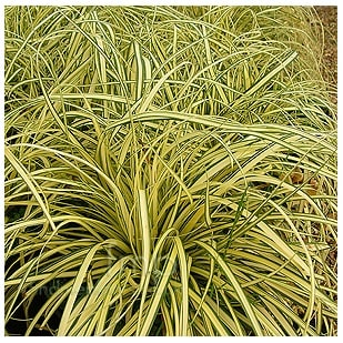 Cheap Carex oshimensis 'Evergold' or Variegated Japanese Sedge Buy Online