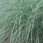 Miscanthus sinensis 'Morning Light' – Japanese Silver Grass