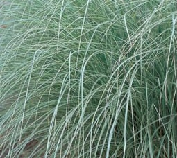 Cheap Miscanthus sinensis 'Morning Light' - Japanese Silver Grass
