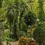 Cordyline australis - Cabbage Tree or Torbay Palm, Buy online