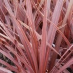 Cordyline australis 'Red Star' or Cabbage Palm 'Red Star'