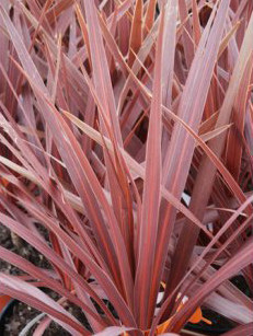 Cheap Cordyline australis 'Red Star' Cabbage Palm 'Red Star'