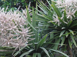Cordyline australis flowering