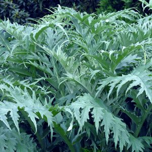 Buy Cynara cardunculus or Cardoon Artichoke thistle in the UK