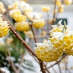 It's time to grow the beautiful Edgeworthia chrysantha (Paper bush)