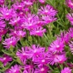Delosperma cooperii or Trailing Iceplant, Pink Carpet | Buy Online