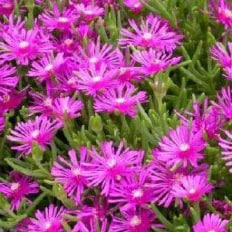 Buy Delosperma cooperii Ice Plant online in the UK