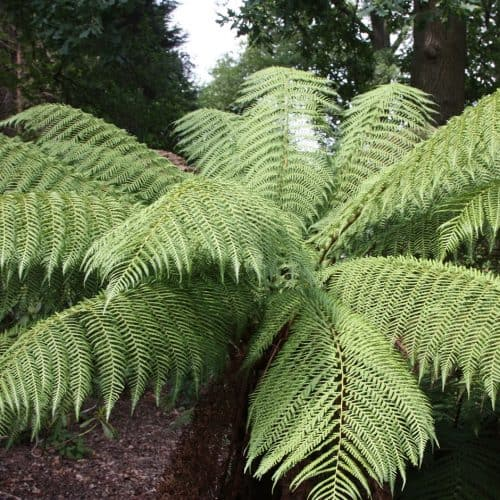 Dicksonia antarctica - A must buy staple for the UK tropical garden